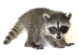 baby_coon